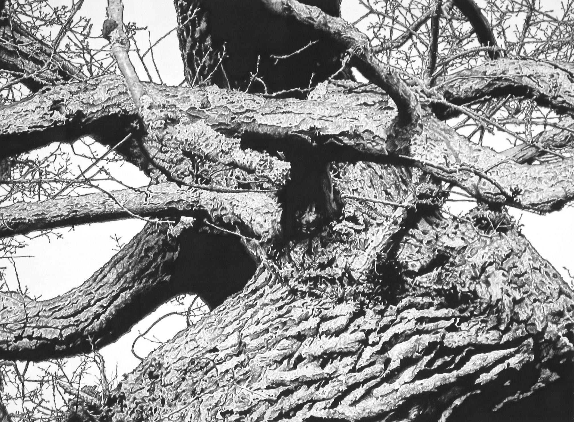 Kett's Oak 3