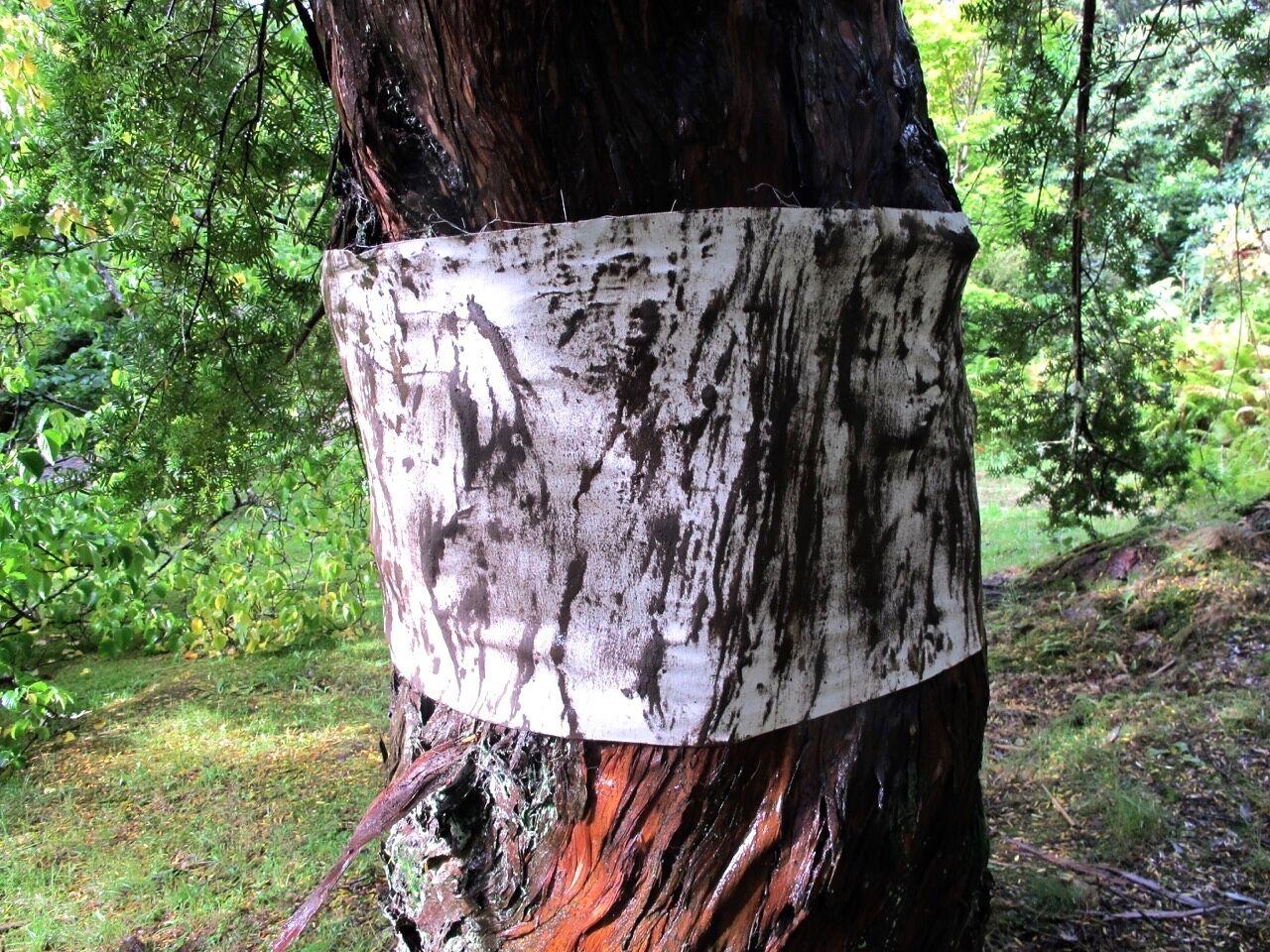 Podocarpus totara (Totara) 1